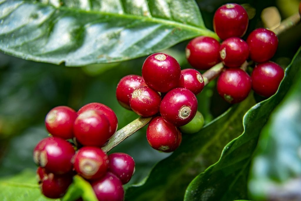 Coffea Arabica: Grown, processed, and delivering you your morning caffeinated goodness