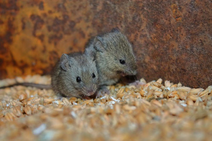 Bromadiolone is highly effective at controlling rat and mice populations