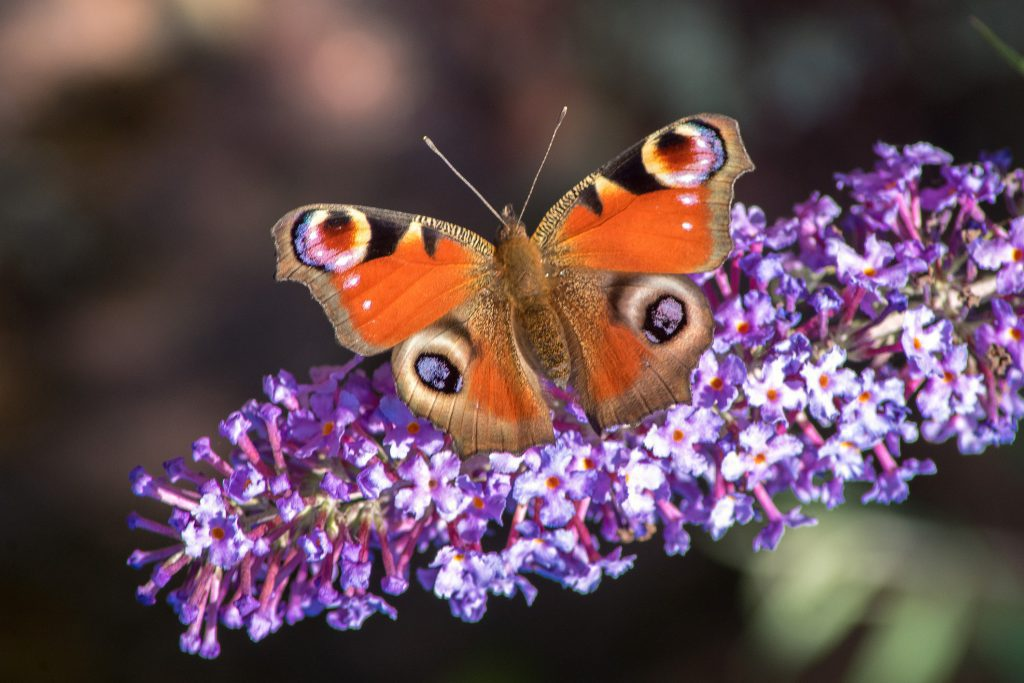 Butterflies come in a wide range of colours and sizes.