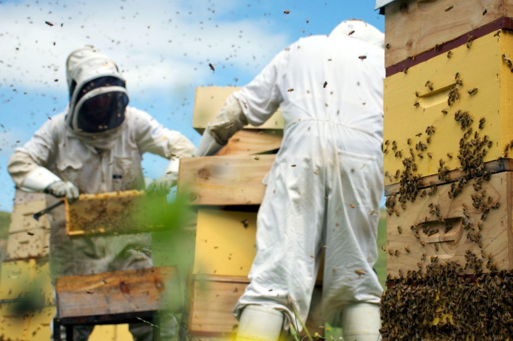 Beekeepers wear protective suits, including hats and facemasks or veils when extracting honey from a hive.