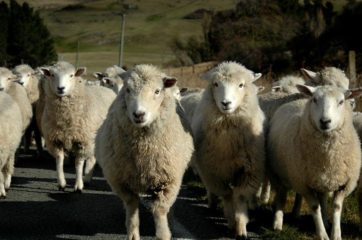 Lanolin can make up as much as 25% of the weight of wool.
